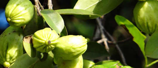 Quelles sont les utilisations thérapeutiques de la Garcinia cambogia